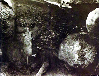 Laughing owl - Juvenile S. a. albifacies photographed around 1909