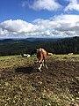 Schwarzwald cow.jpg