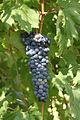 Sciascinoso grape.jpg