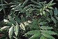 Sclerocarya birrea kz01.jpg