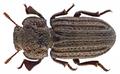 Scleropatrum asperulum Rtt. (11448724436).png