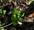 Scopolia carniolica hladnikiana - Flickr - peganum (1).jpg