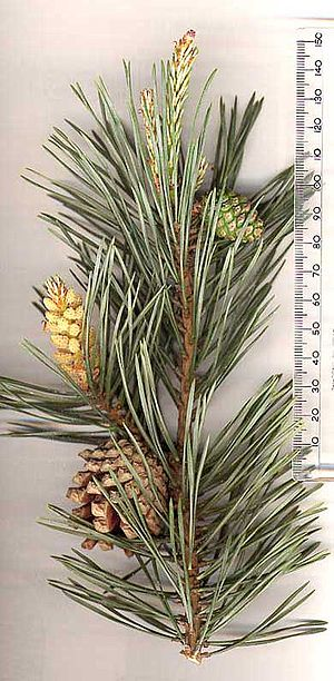 Clan badge - Scots Pine has been attributed at some point to all the clans of Siol Alpin.
