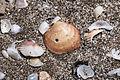 Sea Shells - Deniz kabukları 01.jpg