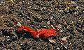 Sea Slugs (Platydoris sanguinea) (8461167166).jpg
