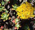 Sedum torulosum, the Tree Sedum (10584249634).jpg