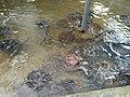 Sekelompok penyu di kolam-2.jpg