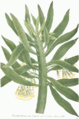 Senecio arborescens illustration.png