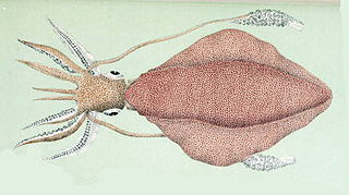 <i>Sepioteuthis australis</i> species of mollusc