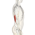 Serratus posterior inferior muscle lateral.png