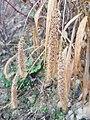 Setaria italica subsp. italica sl11.jpg