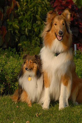 A Shetland Sheepdog (left) and a Rough Collie.