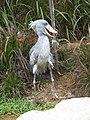 Shoebill, Balaeniceps rex, JBP, Nov 06.JPG