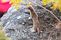 Short-tailed weasel perched on a rock (30917471668).jpg