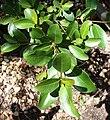 Sideroxylon inerme - small Milkwood tree 4.jpg
