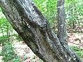 Silverleaf Fungus (33903882844).jpg