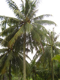 coconut palm simple english the encyclopedia coconut