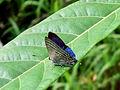 Sinthusa natsumiae ♂ Mt. Mandalagan.JPG