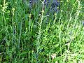 Sisymbrium runcinatum Habitus 2011-4-10 SierraMadrona.jpg