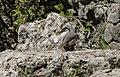 Sitta neumayer - Western Rock Nuthatch - Kaya sıvacısı 01.jpg