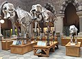 Skeletons of Elephants.jpg