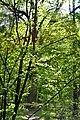 Skulyn Kovelskyi Volynska-Nechymne nature reserve-Lesya Ukrainka's oak.jpg