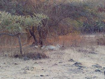 Sleeping lion - Gir Forest.jpg