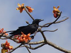 Slender-billed crow (Corvus enca) on red cotton tree (Bombax ceiba) Buton Island Indonesia.jpg