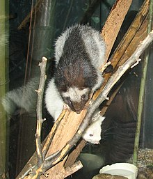 Slender-tailed Cloud Rat.jpg