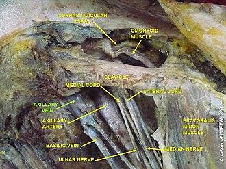 Axillary vein - Image: Slide 4EEEE