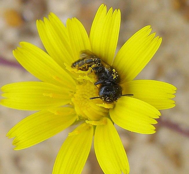 File:Small Shaggy Bee. Panurgus calcaratus? (31312427313).jpg