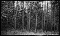 Small pine timber, near Edenton, North Carolina, May 10, 1927. (15616146294).jpg