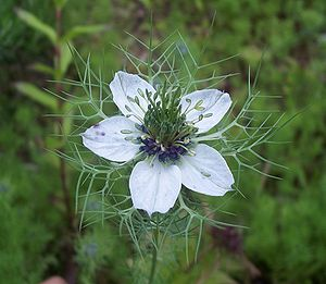 Nigella - Nigella in full bloom