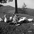 "Smodinov Ivan ""fotra"" (hrani) kokoši, Vojsko 1959.jpg"