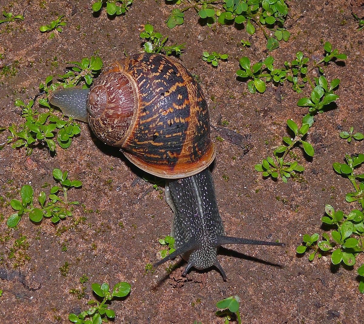 Gastropoda - Wiktionary
