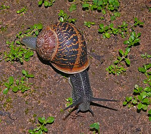 Mollusca - Cornu aspersum (formerly Helix aspersa) – a common land snail
