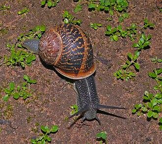 Snail - Helix aspersa – garden snail