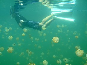 A golden jellyfish bloom in Jellyfish Lake, Palau.