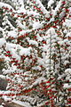 Snow Berries (5203394676).jpg