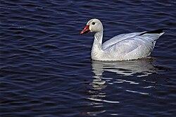 Snow Goose, Bosque del Apache NWR.jpg