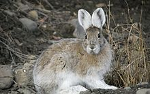 Snowshoe hare transitional coloring.jpg