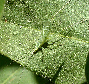 Tree cricket - Snowy tree cricket, Oecanthus fultoni