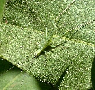 Tegmen - Snowy tree cricket