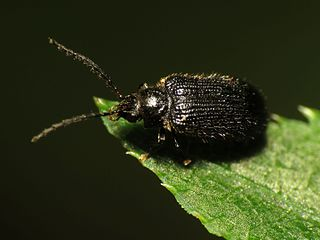 Artematopodidae Family of beetles