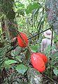 Solanum betaceum (18922623442).jpg