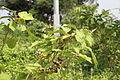 Solanum torvum in Bioko 2013.jpg