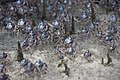 Soldier Crabs close up.jpg