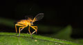 Soldier beetle from ecuador (15174372962).jpg