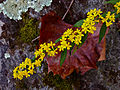Solidago caesia - Wreath Goldenrod.jpg