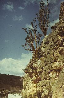 <i>Boswellia frereana</i>